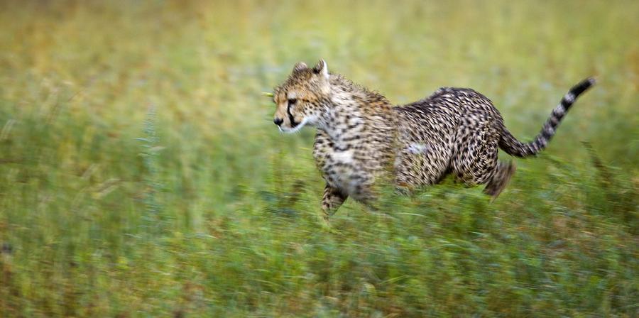 Cheetah Acinonyx Jubatus, Running Photograph