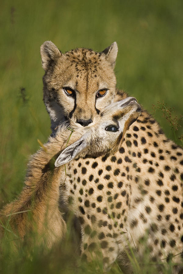 Cheetah Acinonyx Jubatus With Its Kill Photograph  - Cheetah Acinonyx Jubatus With Its Kill Fine Art Print