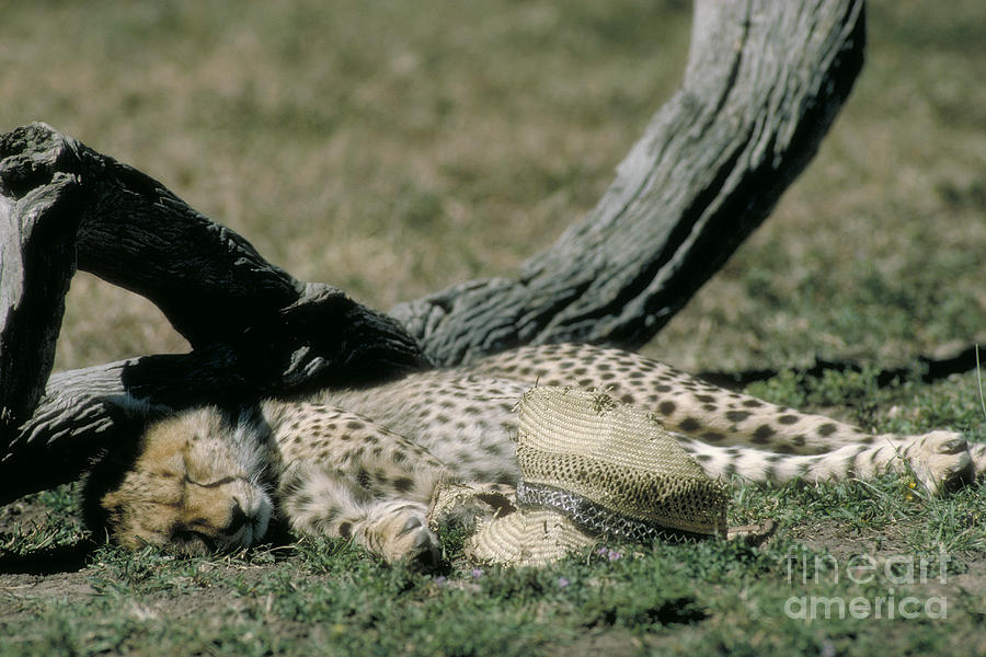 Cheetah Cub Sleeping And Guarding Hat Photograph