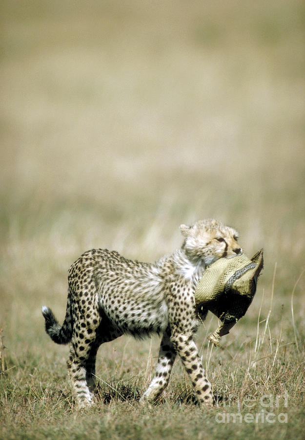 Cheetah Cub With Hat Photograph
