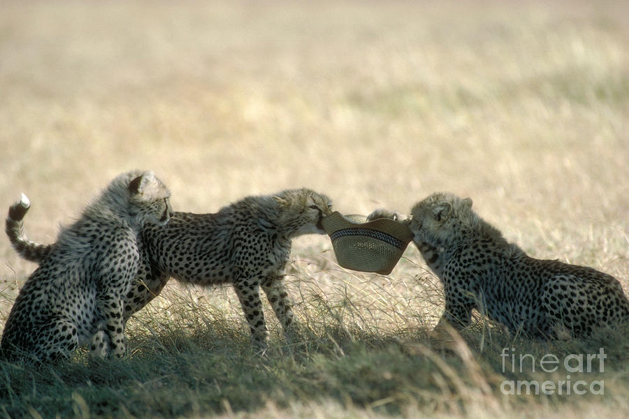 Cheetah Cubs Play With Hat Photograph
