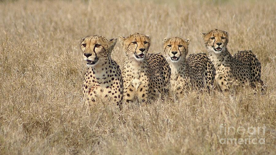 Cheetah Photograph - Cheetah Family by Mareko Marciniak