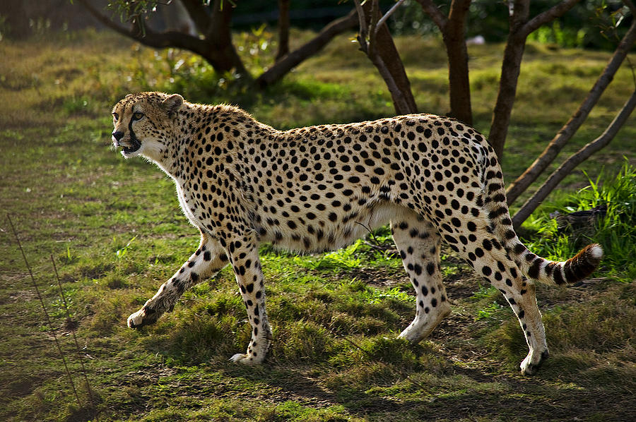 Cheetah  Photograph
