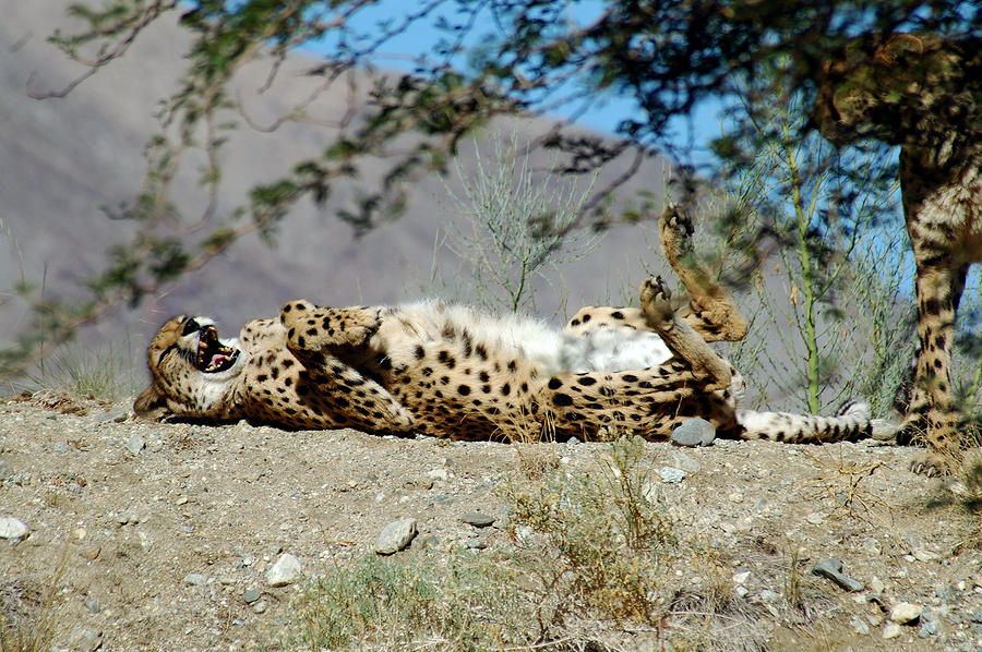 laughing cheetah - photo #21
