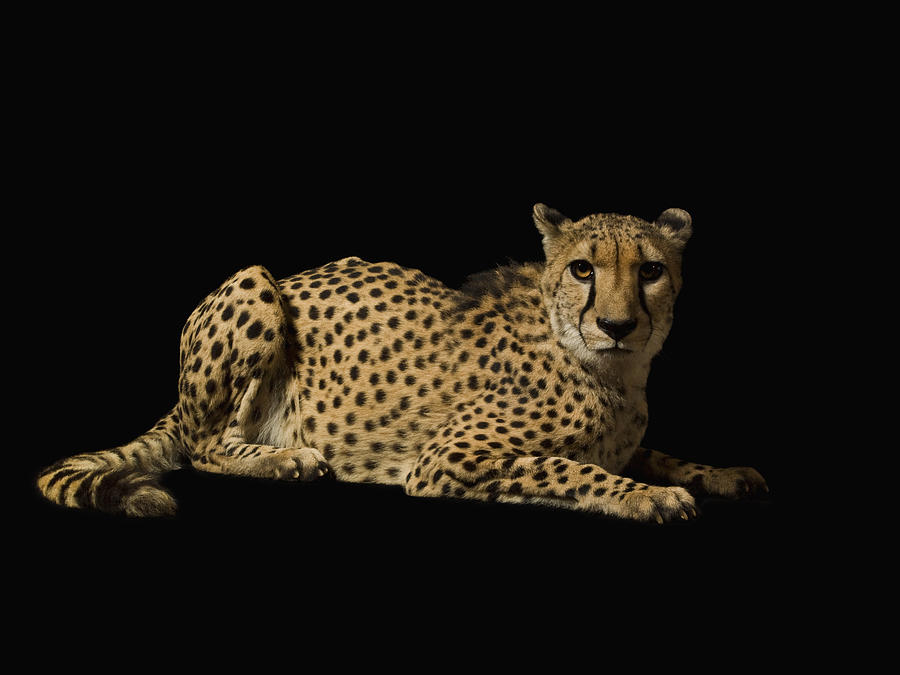 cheetah on black background photograph