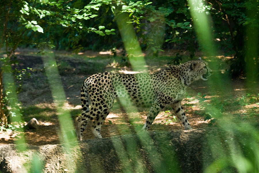 Cheetah On The In The Forest Photograph  - Cheetah On The In The Forest Fine Art Print