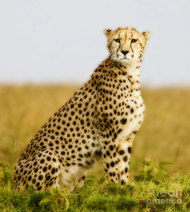 Lakota the Cheetah Deputy of Lightpride Cheetah-sitting-on-mound-bryan-pereira