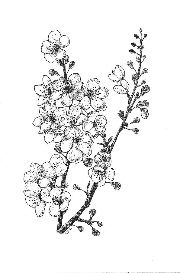 Cherry Blossems Drawing  - Cherry Blossems Fine Art Print