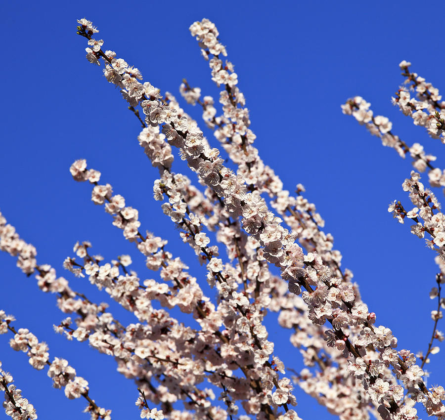 Cherry Blossom Branch Photograph  - Cherry Blossom Branch Fine Art Print