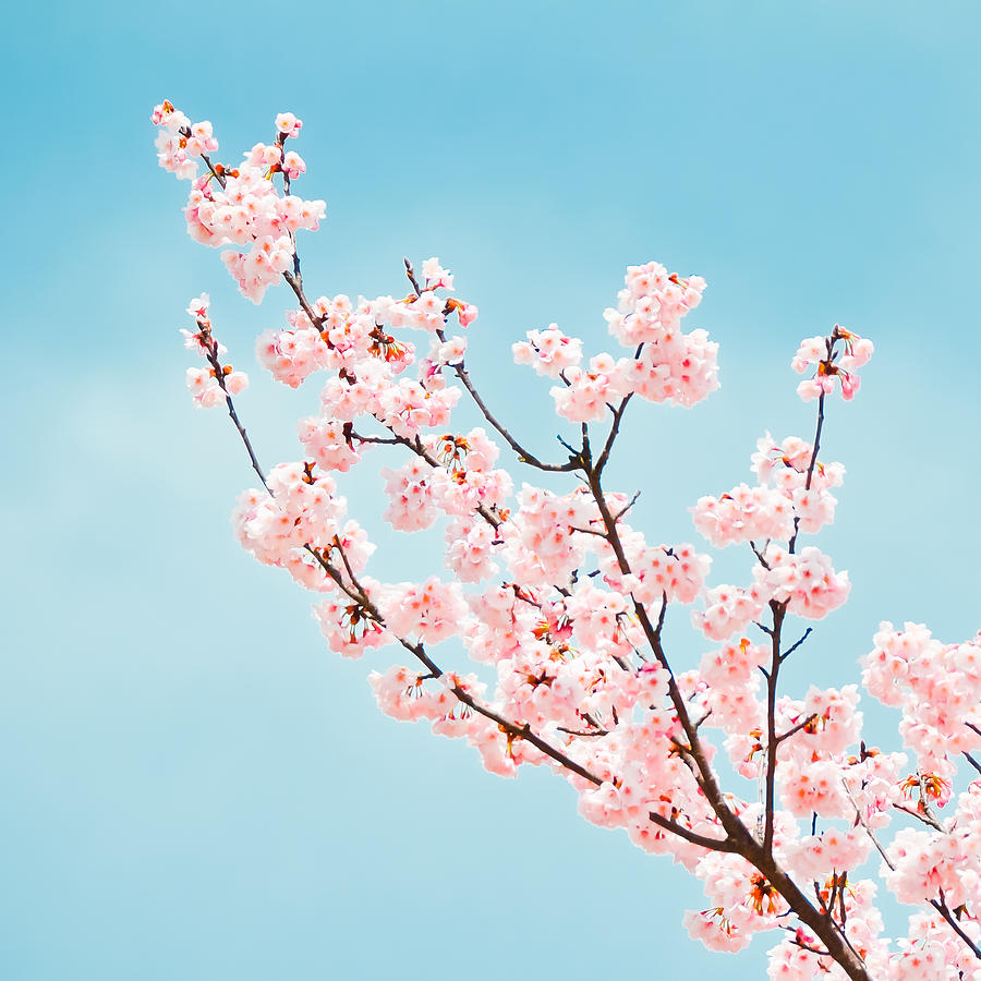 Cherry Blossom Branch Photograph by Jannes Glas