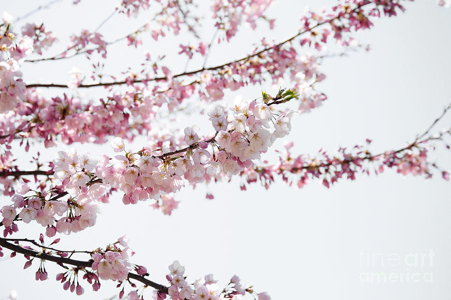 cherry blossom branch - photo #19