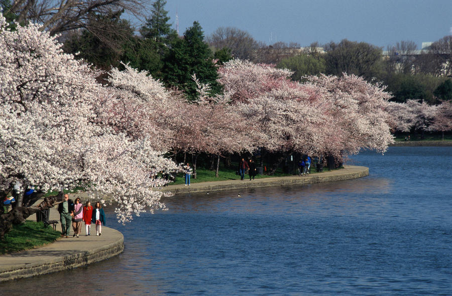 Cherry Blossom Festival, Jefferson Photograph