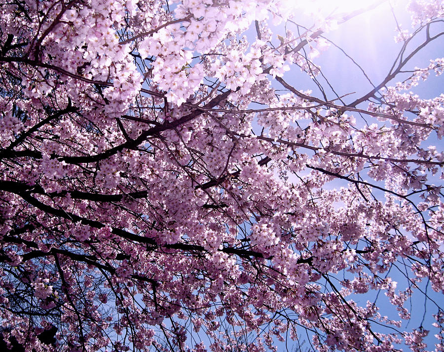 Cherry Blossom Season Photograph  - Cherry Blossom Season Fine Art Print