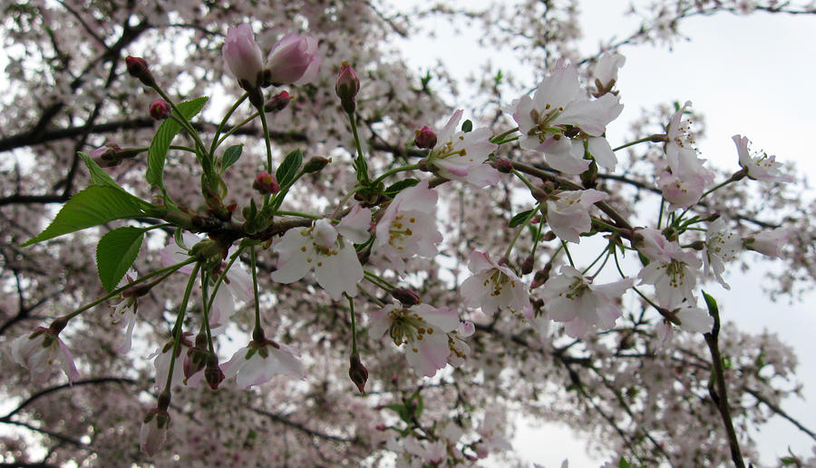 Cherry Blossom Season I Photograph