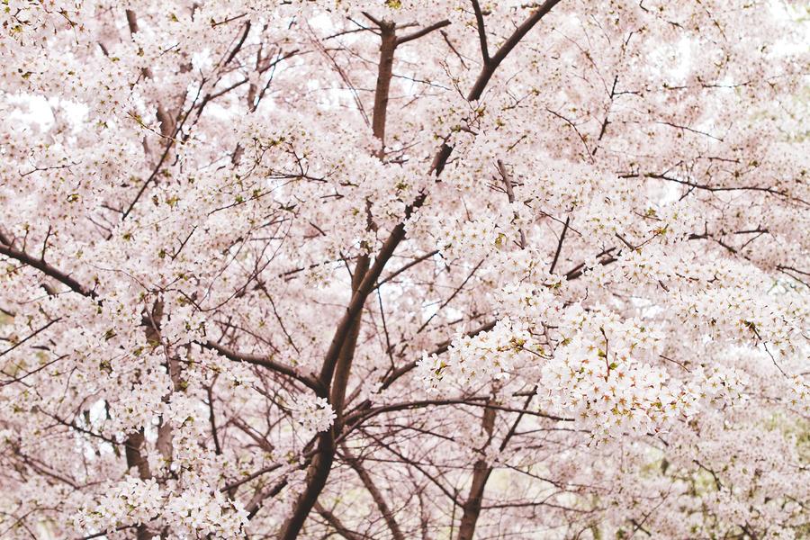 Cherry Blossom Spring Photograph