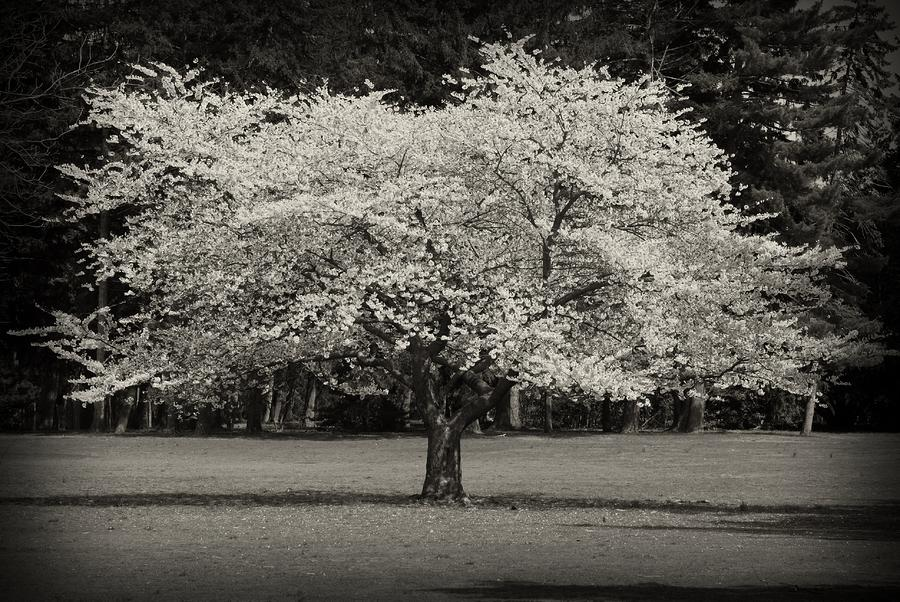 Cherry Blossom Tree - Ocean County Park Photograph  - Cherry Blossom Tree - Ocean County Park Fine Art Print