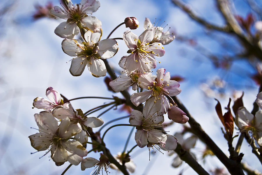 Cherry Blossom Tree Photograph