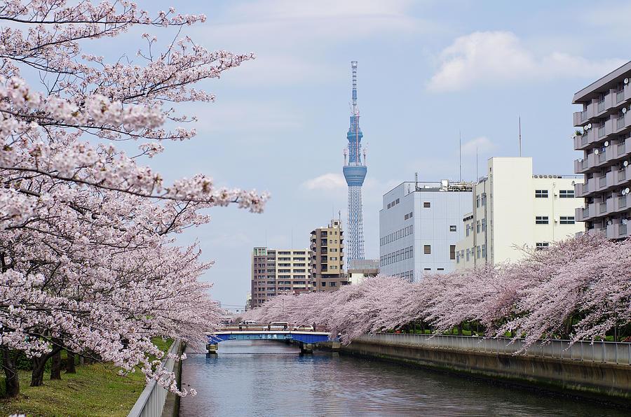 Cherry Blossom Trees Along River, Tokyo. Photograph