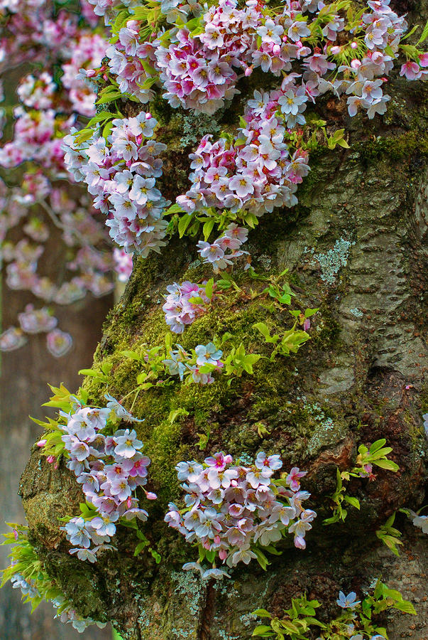 Cherry Blossom Trunk Photograph