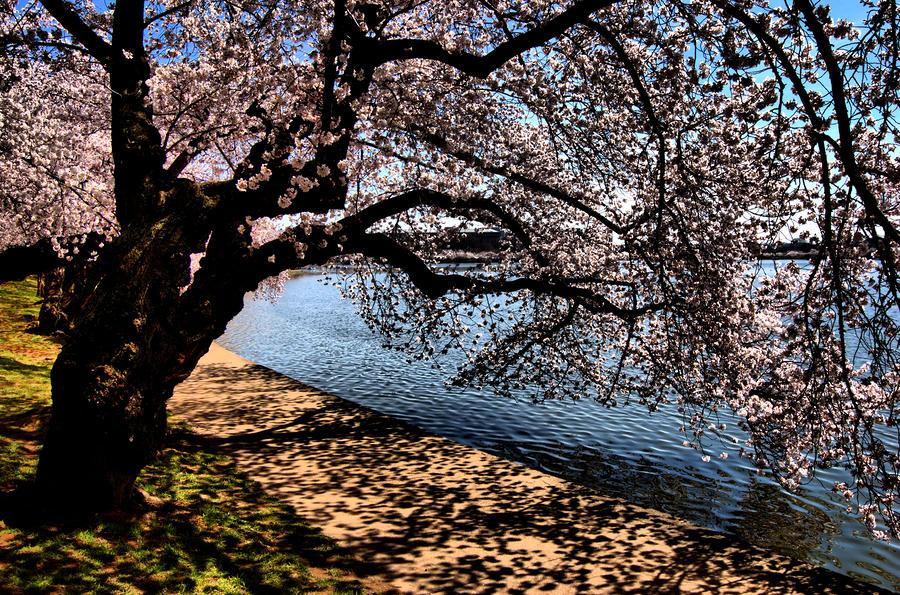 Cherry Blossoms - Washington Dc Photograph