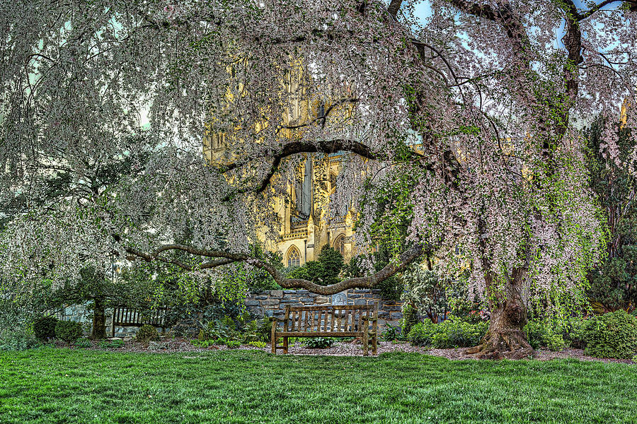 Cherry Blossoms At The Washington National Cathedral Photograph  - Cherry Blossoms At The Washington National Cathedral Fine Art Print