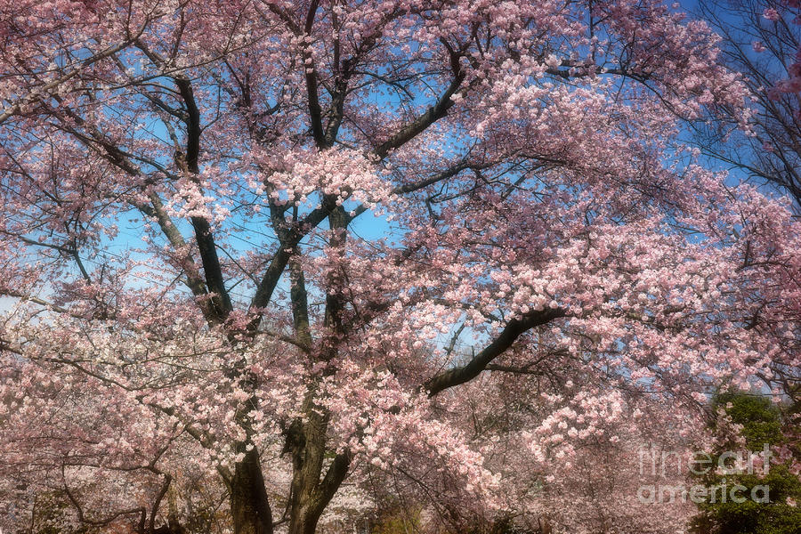 - cherry-blossoms-blooming-susan-isakson