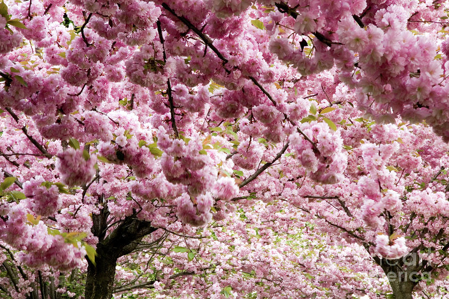Cherry Blossoms In Milan Italy Photograph