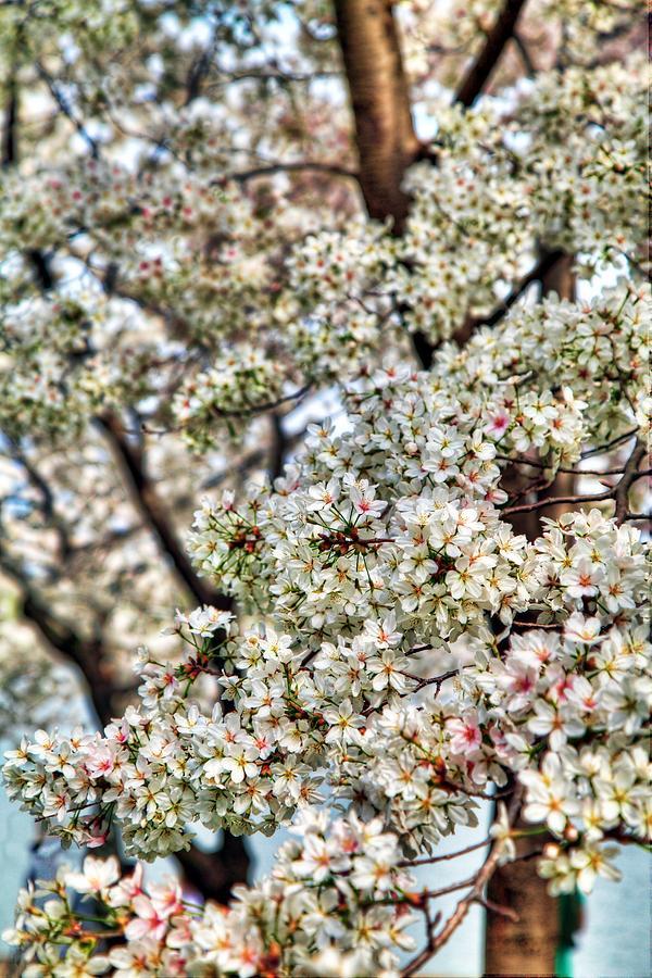 Cherry Blossoms Washington Dc 2 Photograph