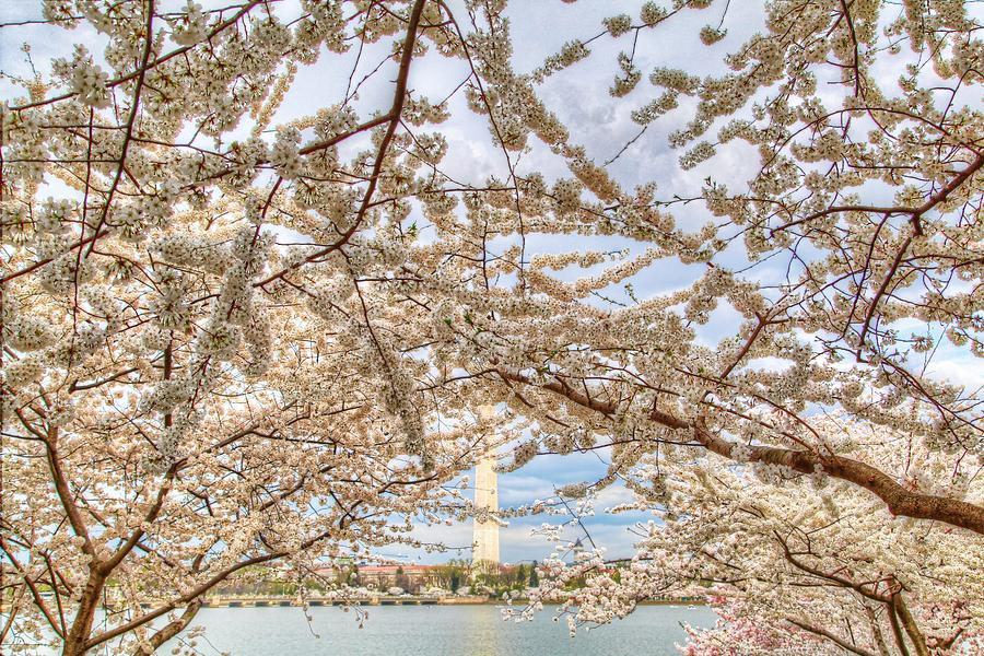 Cherry Blossoms Washington Dc 3 Photograph