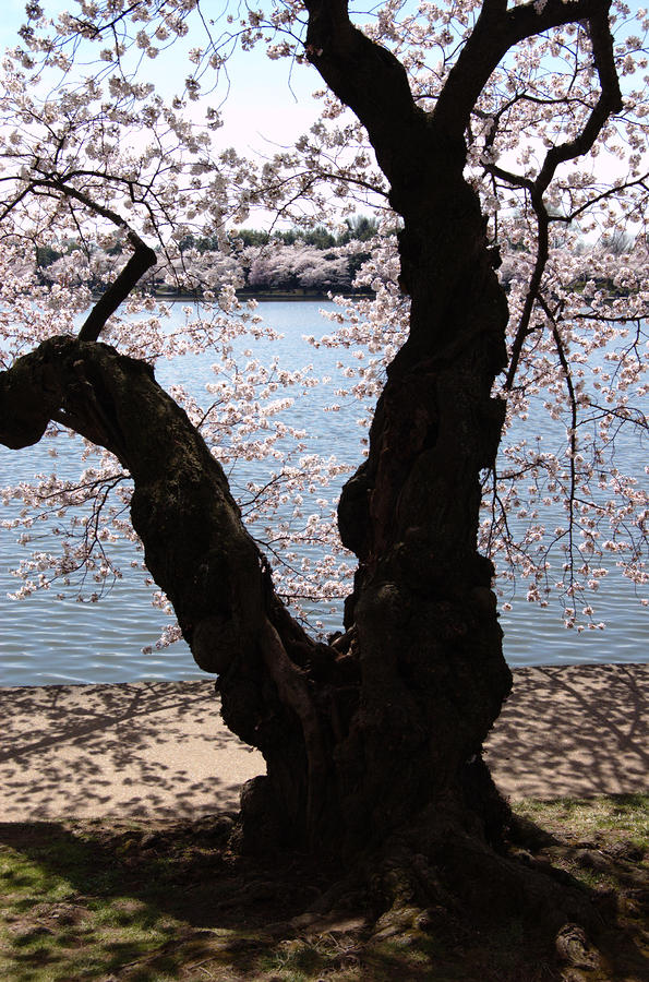 Cherry Blossoms Washington Dc Photograph  - Cherry Blossoms Washington Dc Fine Art Print