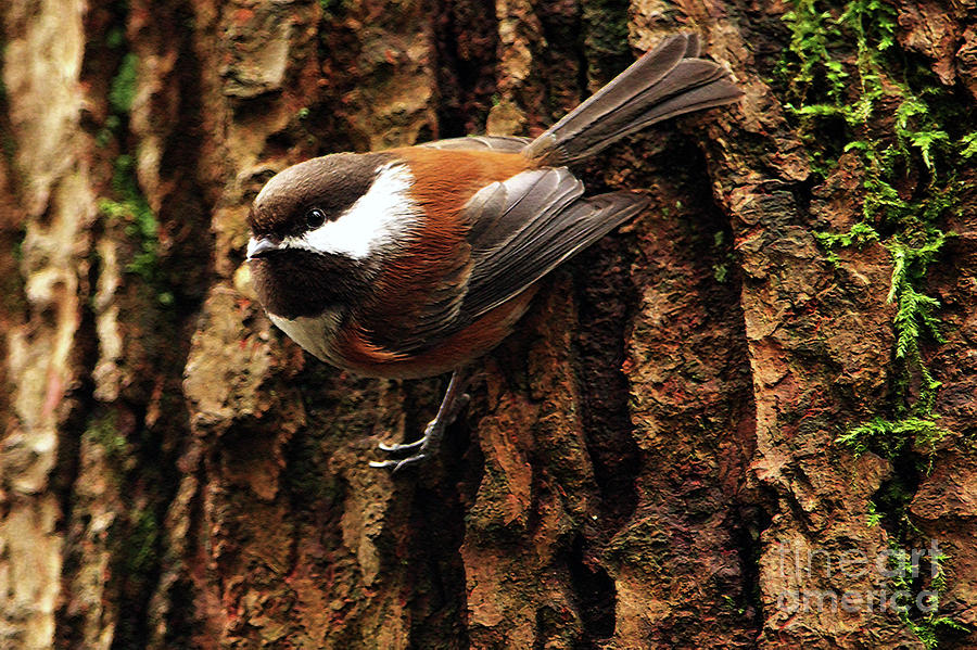 Chestnut-backed Chickadee On Tree Trunk Photograph  - Chestnut-backed Chickadee On Tree Trunk Fine Art Print