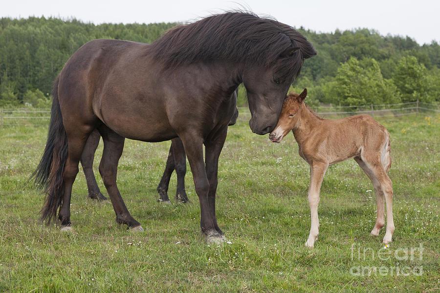 Islandais - Page 2 Chestnut-newborn-icelandic-horse-greeting-a-black-icelandic-horse-kathleen-smith