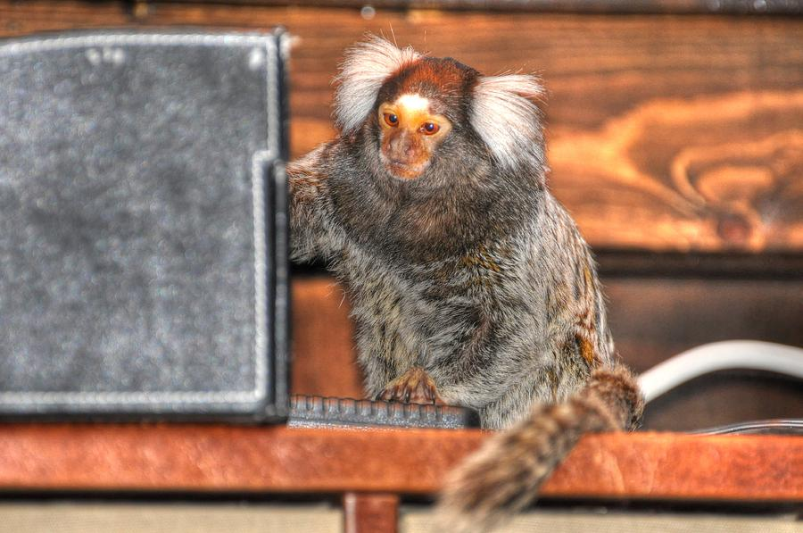 Chewy The Marmoset Digital Art - Chewy The Marmoset by Barry R Jones Jr