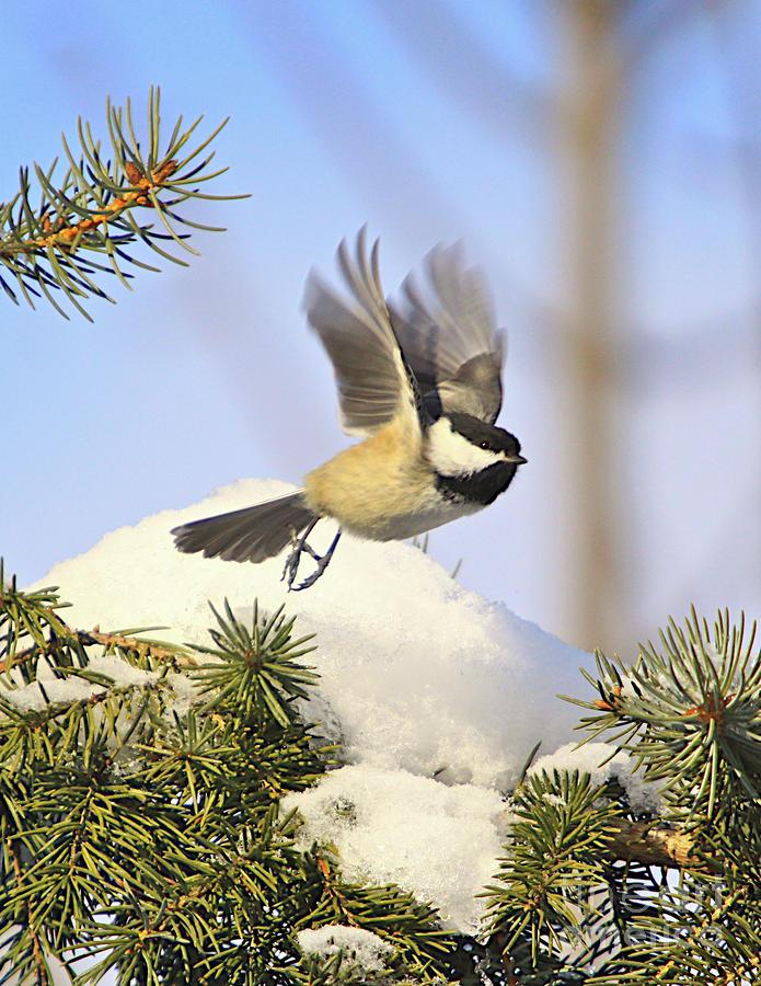 Chickadee-13 Photograph