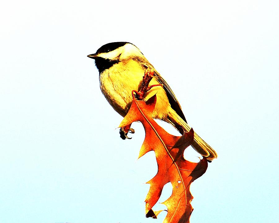 Chickadee 2 Photograph  - Chickadee 2 Fine Art Print