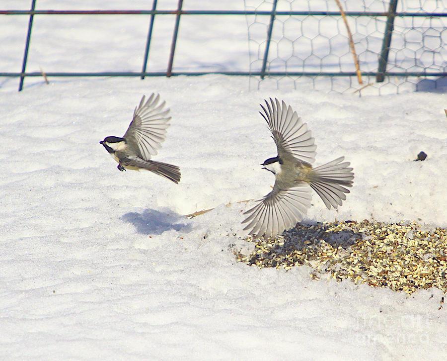 Chickadee-6 Photograph