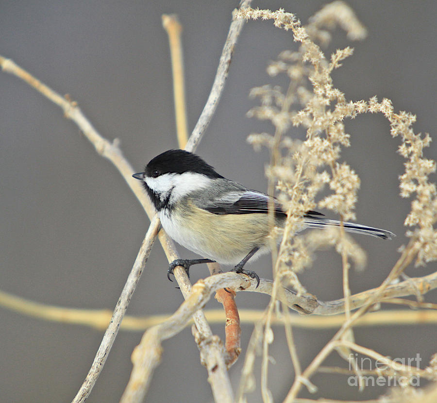 Chickadee-8 Photograph