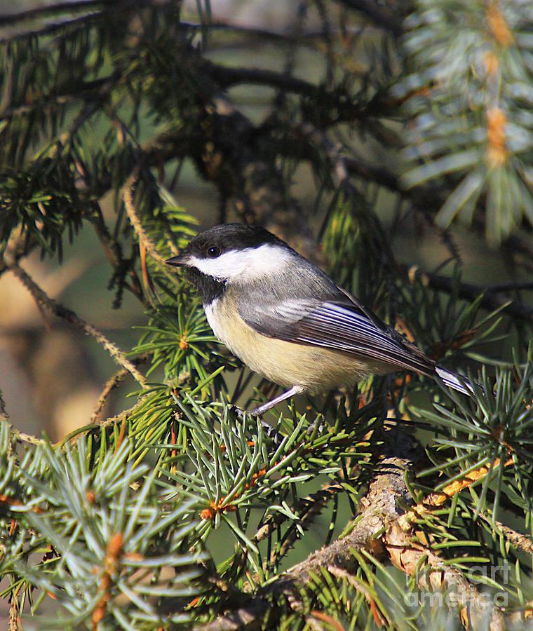 Chickadee-9 Photograph