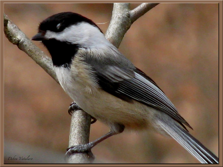 Chickadee Bird Photograph  - Chickadee Bird Fine Art Print