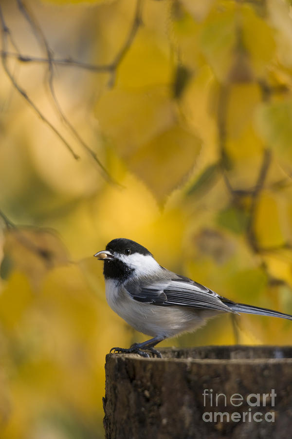 Chickadee On A Log Photograph  - Chickadee On A Log Fine Art Print