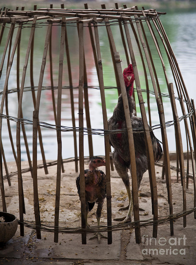 Chickens In Bamboo Cage Photograph