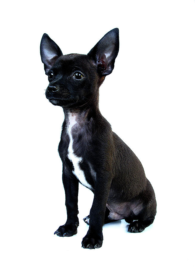 Vertical Photograph - Chihuahua Puppy by Hapa