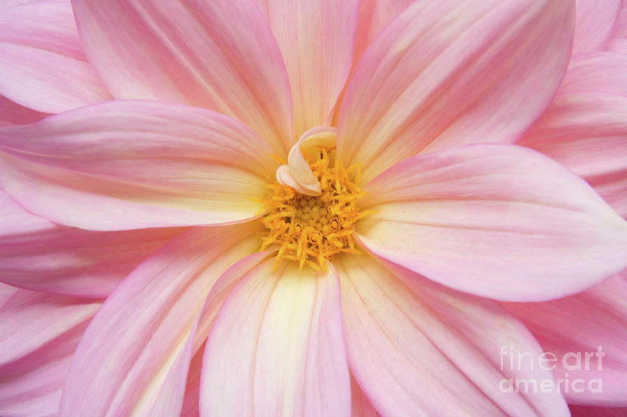 Chinese Chrysanthemum Flower Photograph