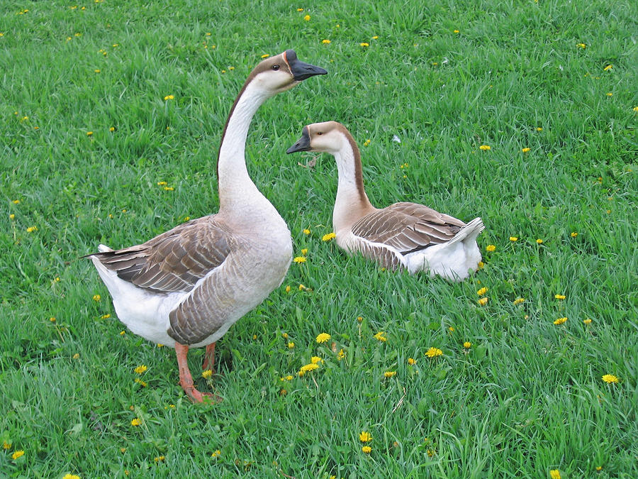 chinese gander and his mate by laurie with