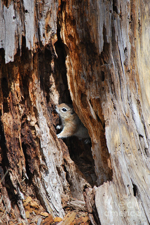Chipmunk - Eager Arizona Photograph  - Chipmunk - Eager Arizona Fine Art Print