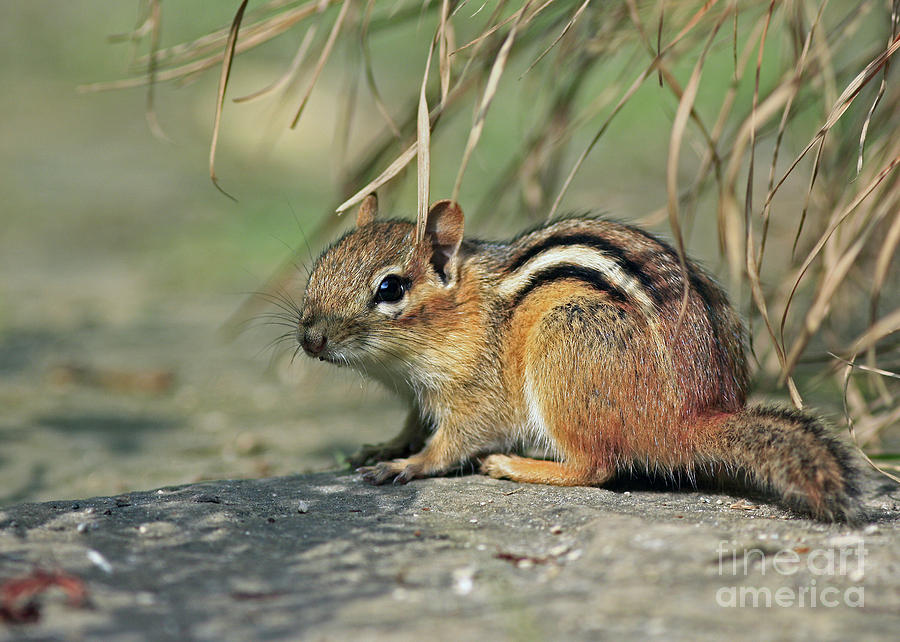 Chipmunk On A Warm Summer Evening Photograph  - Chipmunk On A Warm Summer Evening Fine Art Print