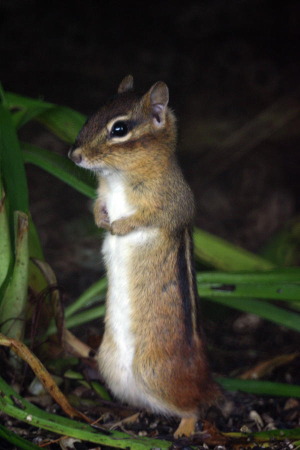 Chipmunk On Alert Photograph  - Chipmunk On Alert Fine Art Print