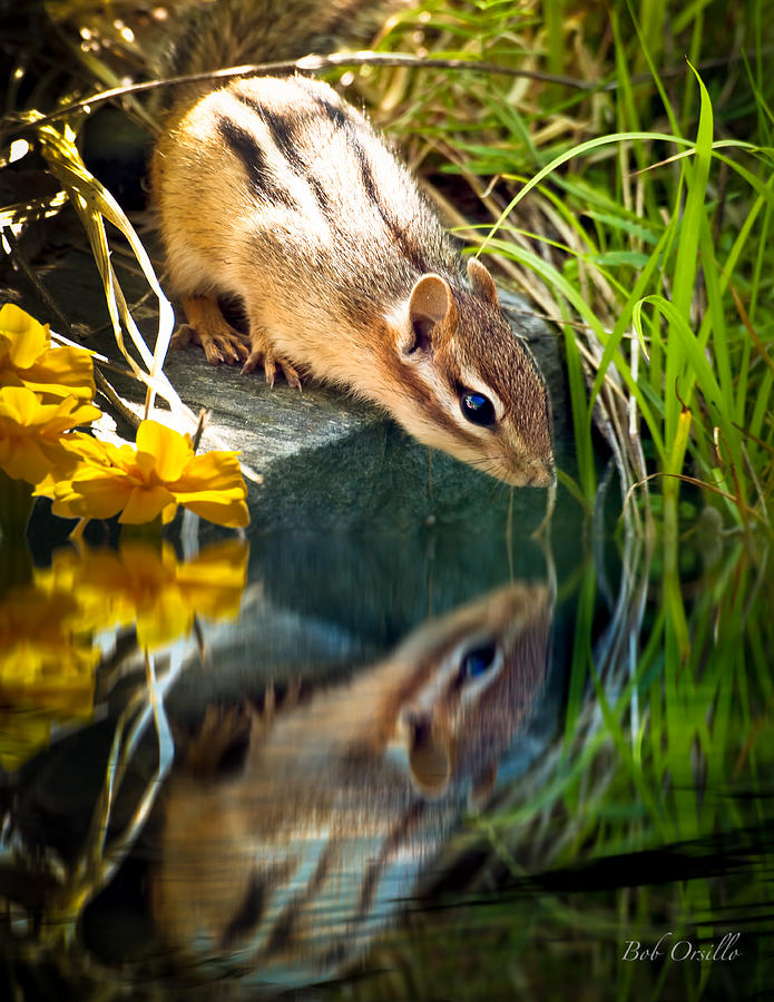 Chipmunk Reflection Photograph  - Chipmunk Reflection Fine Art Print