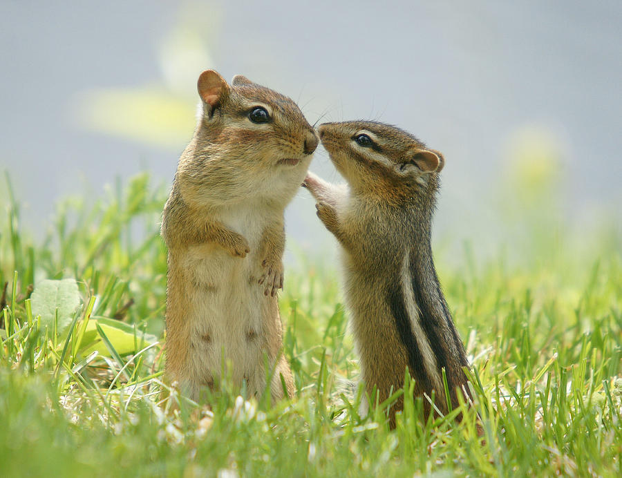Chipmunks In Grasses Photograph