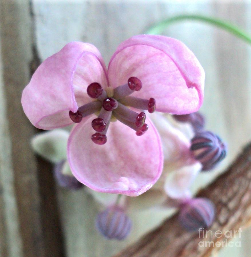 Chocolate Vine Young Bloom Macro Photograph  - Chocolate Vine Young Bloom Macro Fine Art Print